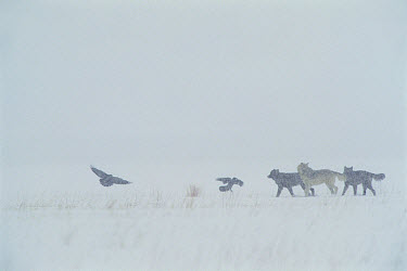Timber Wolf (Canis lupus) group and Common Raven (Corvus corax) group play in the snow, National Elk Refuge, Wyoming  -  Thomas Mangelsen