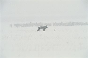 Timber Wolf (Canis lupus) with Elk (Cervus elaphus) herd in the distance, National Elk Refuge, Wyoming  -  Thomas Mangelsen