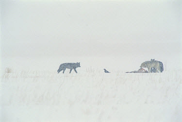 Timber Wolf (Canis lupus) group and Common Raven (Corvus corax) feed on Elk (Cervus elaphus) carcass, National Elk Refuge, Wyoming  -  Thomas Mangelsen