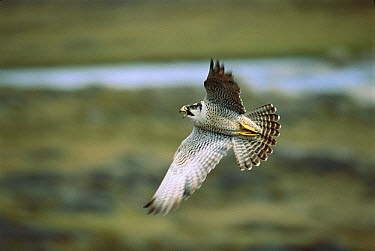 Peregrine Falcon (Falco peregrinus) flying, Wager Bay, Northwest Territories, Canada  -  Thomas Mangelsen