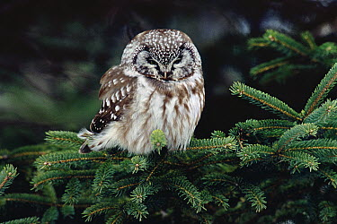 Boreal Owl (Aegolius funereus) perching in a White Spruce (Picea glauca), northern Minnesota  -  Thomas Mangelsen