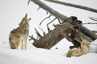 Coyote (Canis latrans) pair calling, Yellowstone National Park, Wyoming  -  Thomas Mangelsen