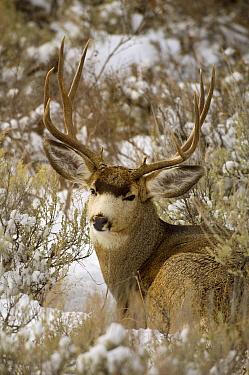 Mule Deer (Odocoileus hemionus) buck bedded down amid sagebrush, Grand Teton National Park, Wyoming  -  Thomas Mangelsen