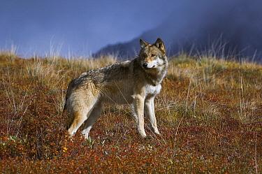 Gray Wolf (Canis lupus) surveying the tundra, Denali National Park, Alaska  -  Thomas Mangelsen