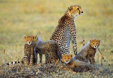 Cheetah (Acinonyx jubatus) mother and cubs resting on the plain, vulnerable species, Aitong Hills, Kenya  -  Thomas Mangelsen