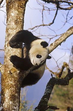 Giant Panda (Ailuropoda melanoleuca) in tree, Wolong Valley, Himalaya, China  -  Konrad Wothe