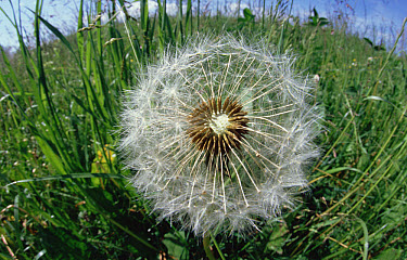 Dandelion (Taraxacum officinale) ready to release its seeds, Germany, introduced into North America as a salad green now is invasive weed  -  Konrad Wothe