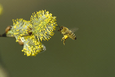 Honey Bee (Apis mellifera) collecting pollen from willow flower, note full pollen baskets, Germany  -  Konrad Wothe