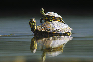 Red-eared Slider (Trachemys scripta elegans) turtle, pair in pond, City Park, Munich, Germany  -  Konrad Wothe