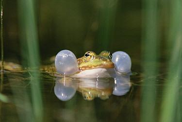 Edible Frog (Rana esculenta) croaking, Germany  -  Konrad Wothe