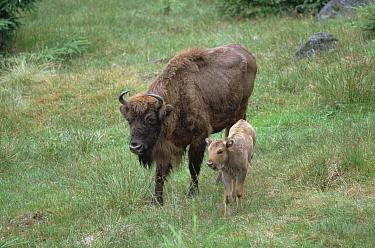 European Bison (Bison bonasus) mother and calf, Germany  -  Konrad Wothe