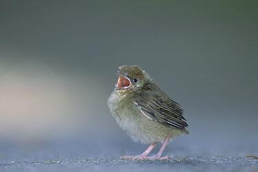 Blackcap (Sylvia atricapilla) chick, singing, Germany  -  Konrad Wothe