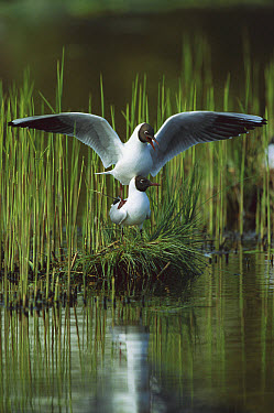 Black-headed Gull (Chroicocephalus ridibundus) pair mating, Germany  -  Konrad Wothe