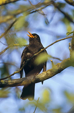 Eurasian Blackbird (Turdus merula) male singing, Germany  -  Konrad Wothe