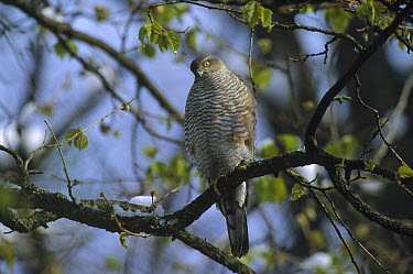 Eurasian Sparrowhawk (Accipiter nisus) perching in a tree, Germany  -  Konrad Wothe