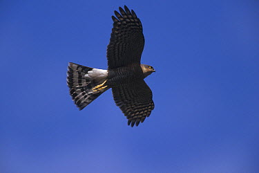 Eurasian Sparrowhawk (Accipiter nisus) flying, Germany  -  Konrad Wothe