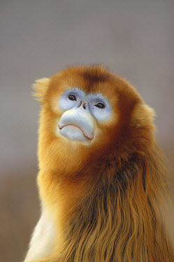 Golden Snub-nosed Monkey (Rhinopithecus roxellana), Wildlife Safari Park, Beijing, China  -  Konrad Wothe