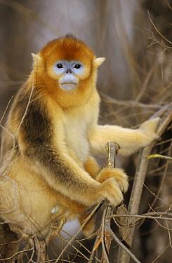 Golden Snub-nosed Monkey (Rhinopithecus roxellana) portrait, Wildlife Safari Park, Beijing, China  -  Konrad Wothe