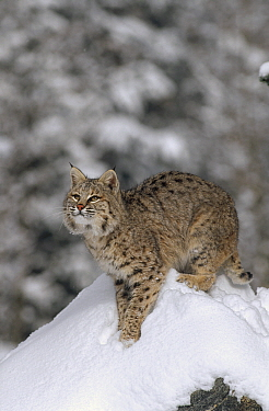 Bobcat (Lynx rufus) in winter, Colorado