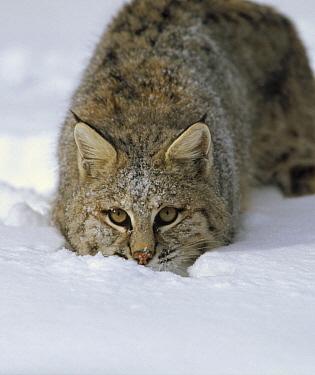 Bobcat (Lynx rufus) crouching in snow, Colorado  -  Konrad Wothe