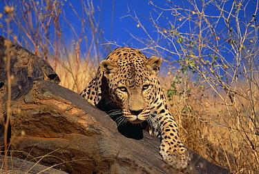 Leopard (Panthera pardus) climbing over rocks, Etosha National Park, Namibia  -  Konrad Wothe