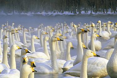 Whooper Swan (Cygnus cygnus) wintering flock, Lake Kussharo-ko, Hokkaido, Japan  -  Konrad Wothe