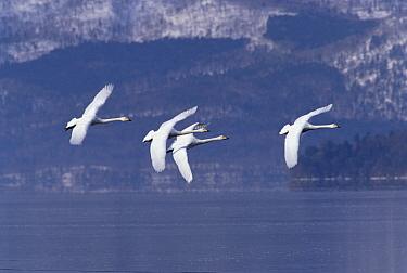 Whooper Swan (Cygnus cygnus) group flying over lake, Kussharo-ko, Hokkaido, Japan  -  Konrad Wothe