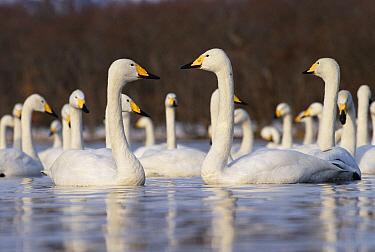 Whooper Swan (Cygnus cygnus) group wintering, Kussharo-ko, Hokkaido, Japan  -  Konrad Wothe
