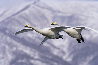Whooper Swan (Cygnus cygnus) pair flying, Kussharo-ko, Hokkaido, Japan  -  Konrad Wothe