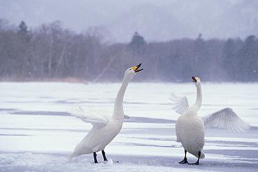 Whooper Swan (Cygnus cygnus) couple courting, Kussharo-ko, Hokkaido, Japan  -  Konrad Wothe