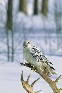 Gyrfalcon (Falco rusticolus) female in white phase perching on an antler in the snow, North America  -  Konrad Wothe