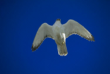 Gyrfalcon (Falco rusticolus) female in white phase flying, North America  -  Konrad Wothe