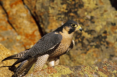 Peregrine Falcon (Falco peregrinus) perching on rocks, Colorado