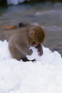 Japanese Macaque (Macaca fuscata) baby playing with snowball beside hot springs in Japanese Alps, Japan  -  Konrad Wothe