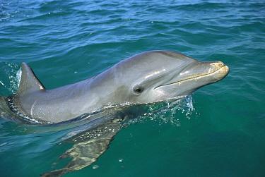 Bottlenose Dolphin (Tursiops truncatus) surfacing, Honduras