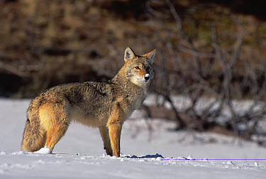 Coyote (Canis latrans) portrait with snow on its nose, Alleens Park, Colorado  -  Konrad Wothe