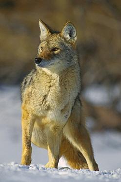 Coyote (Canis latrans) in winter, Alleens Park, Colorado