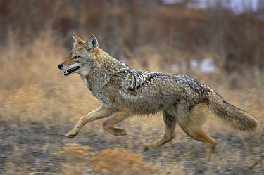 Coyote (Canis latrans) running, Alleens Park, Colorado  -  Konrad Wothe