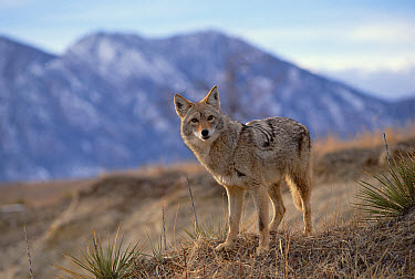Coyote (Canis latrans) on ridge line, Alleens Park, Colorado  -  Konrad Wothe