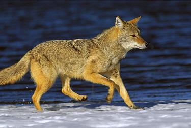 Coyote (Canis latrans) running in winter near Alleens Park, Colorado  -  Konrad Wothe