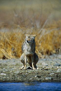Coyote (Canis latrans) defecating near river, Alleens Park, Colorado  -  Konrad Wothe