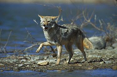 Coyote (Canis latrans) on lake shore near Alleens Park, Colorado  -  Konrad Wothe