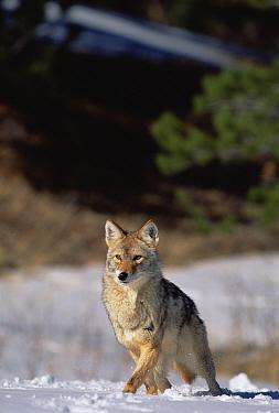 Coyote (Canis latrans) portrait in winter, Alleens Park, Colorado  -  Konrad Wothe