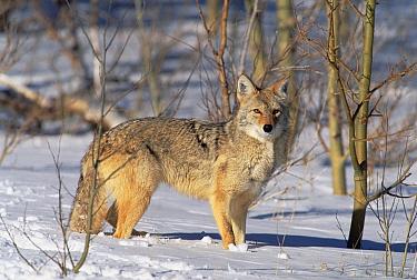 Coyote (Canis latrans) in winter, Alleens Park, Colorado  -  Konrad Wothe