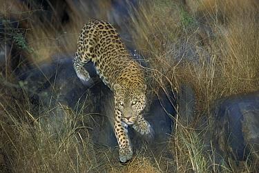 Leopard (Panthera pardus) in grass at dusk, Etosha National Park, Namibia  -  Konrad Wothe