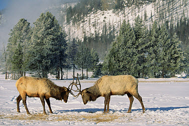 Elk (Cervus elaphus) two males fighting, Yellowstone National Park, Wyoming  -  Konrad Wothe