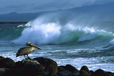 Brown Pelican (Pelecanus occidentalis) perched on rocks with ocean waves in background, Galapagos Islands, Ecuador  -  Konrad Wothe