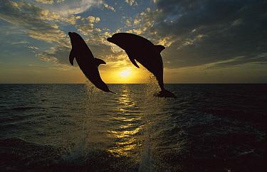 Bottlenose Dolphin (Tursiops truncatus) pair leaping at sunrise, Honduras