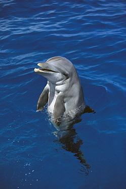 Bottlenose Dolphin (Tursiops truncatus), Hawaii