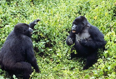 Mountain Gorilla (Gorilla gorilla beringei) males fighting, Virunga National Park, Democratic Republic of the Congo